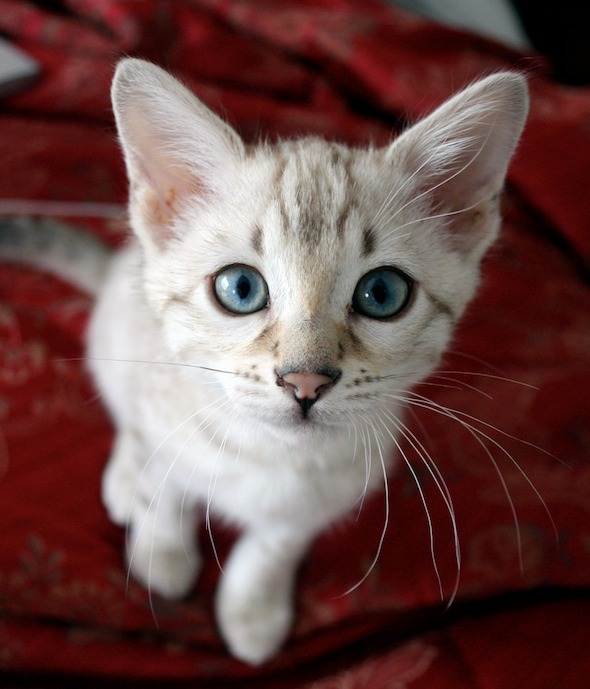Bagheera [redux]  kitten