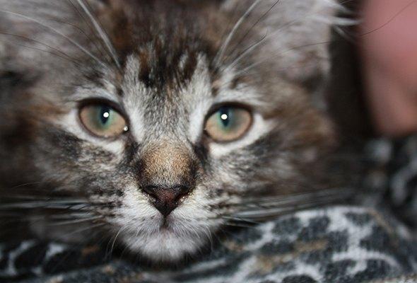 Bazinga [5] kitten