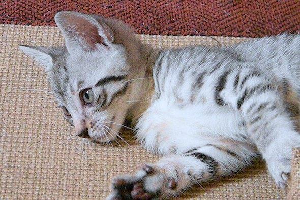 Link [4] kitten