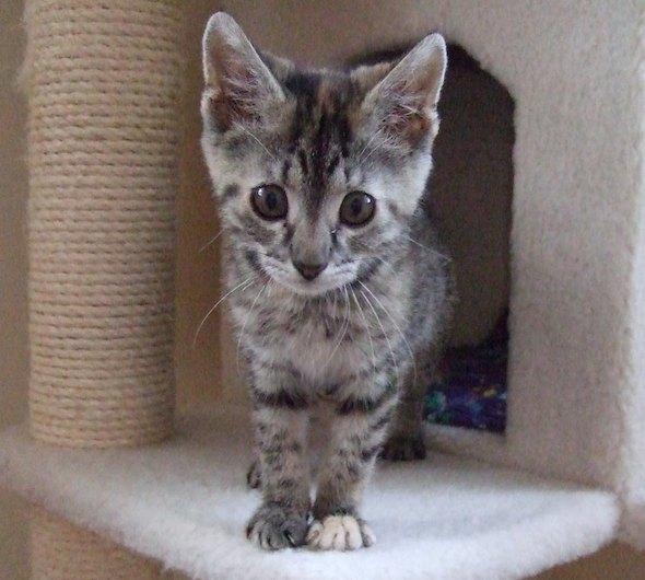 Jacy [4] kitten