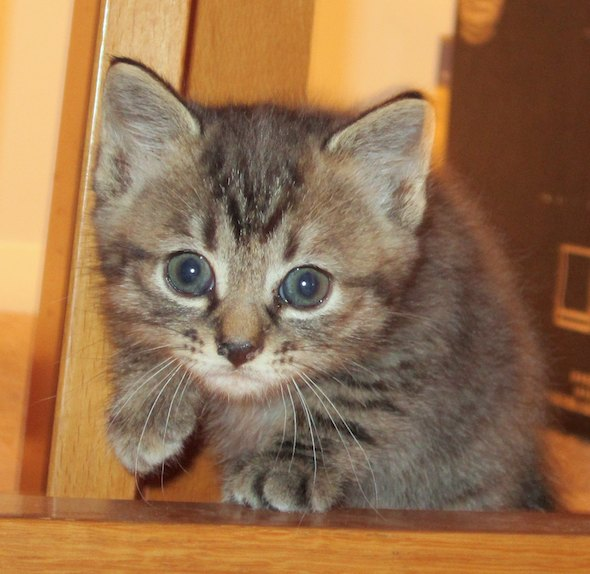 Lola [5] kitten