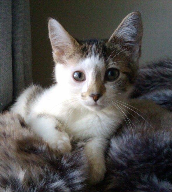 Olive [4]  kitten
