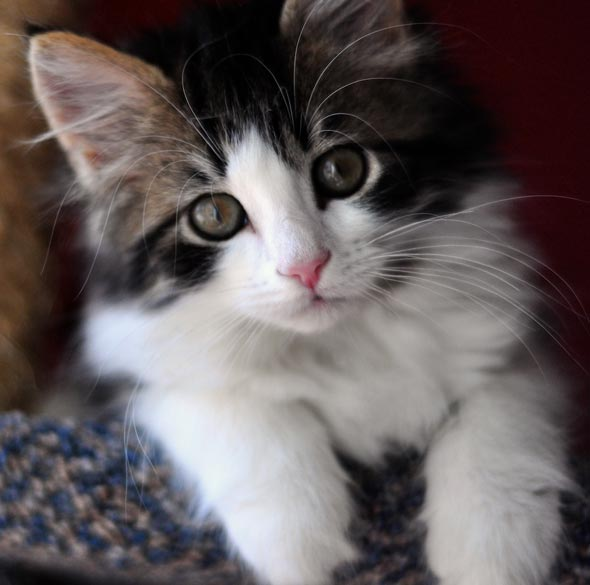 Four Fredericton Fosters Part 4: Bjorn [redux]  kitten