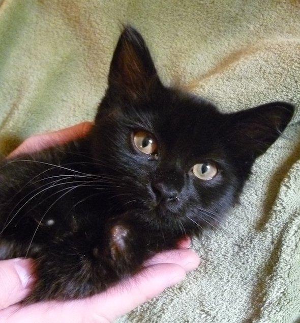 Jolene [4] kitten