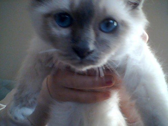 Blue [4] kitten