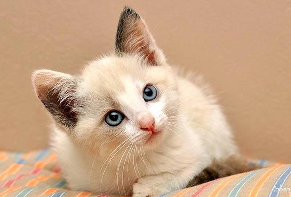 Lola [redux]  kitten