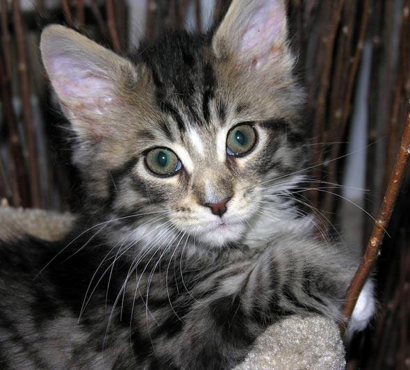Maine Coon Kittens [redux] kitten