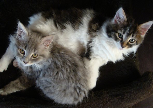 Smoggy's Friends: Pixie & Oberon  kitten