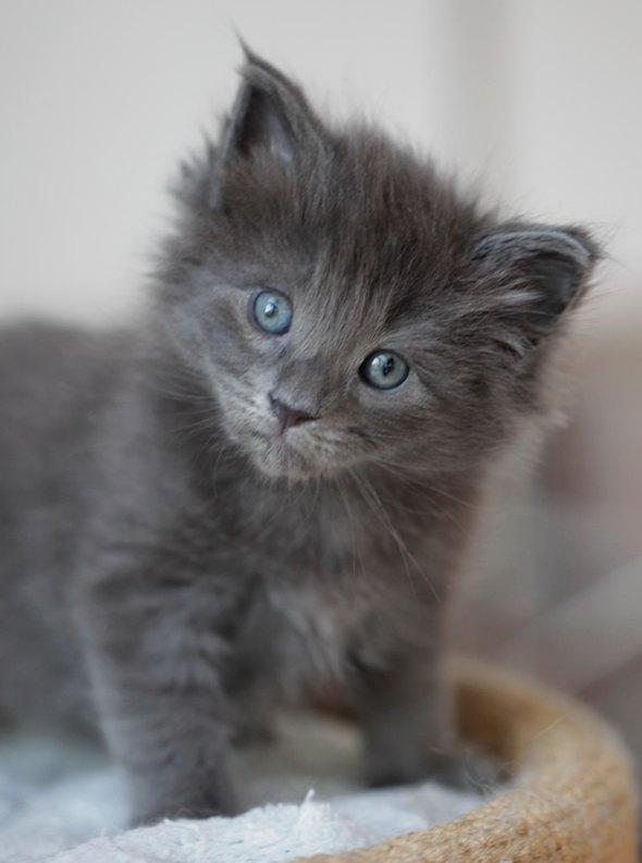 Olga and Elliasz's Kittens: Blå Rackarunge  kitten
