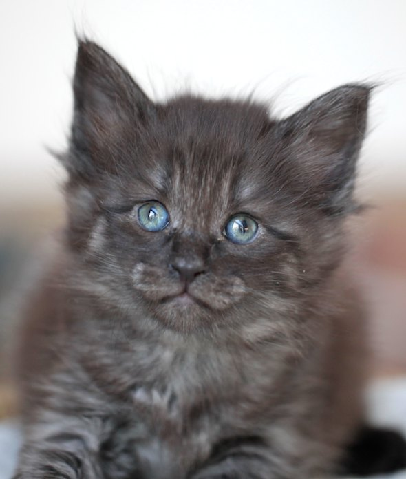 Olga and Elliasz's Kittens: Smokey Imp  kitten