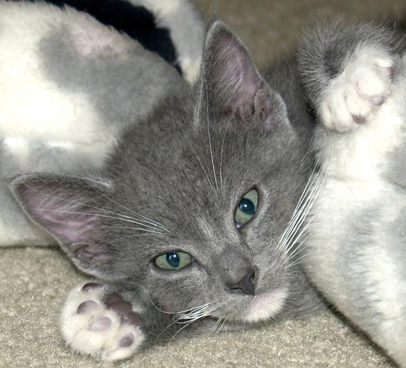 Milo [redux] kitten