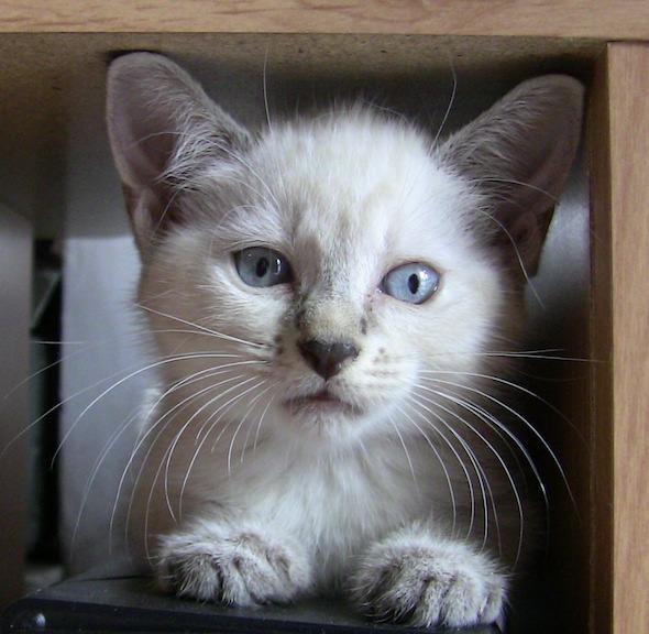 Simi [redux]  kitten
