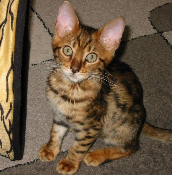 Ziggy [redux]  Bengal kitten
