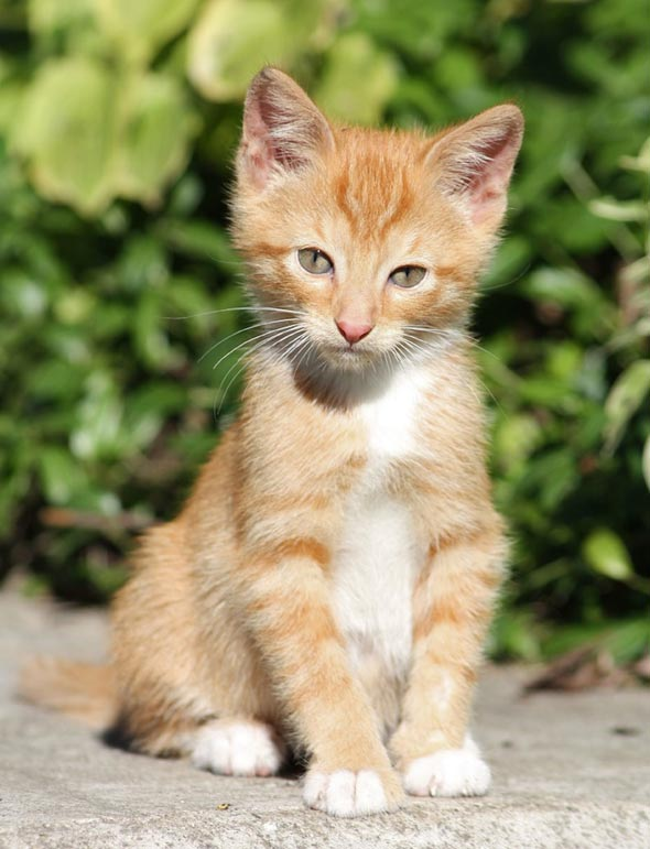 Ginger [redux]  kitten