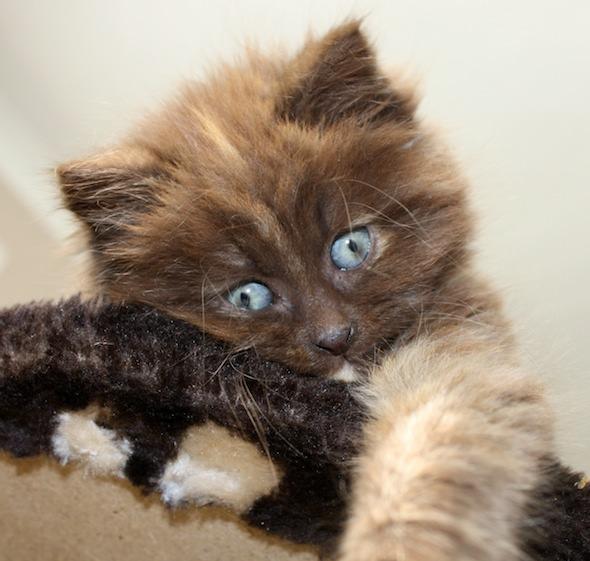 Phoebe [redux]  kitten
