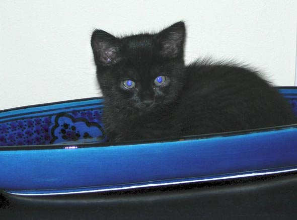 Pepsi  kitten
