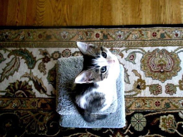 Bianca  kitten