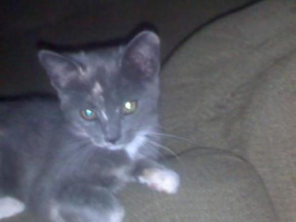 Bongo  kitten