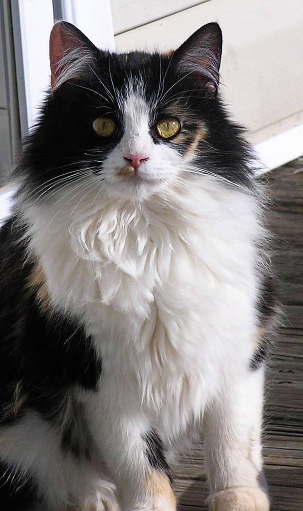 Callie  kitten