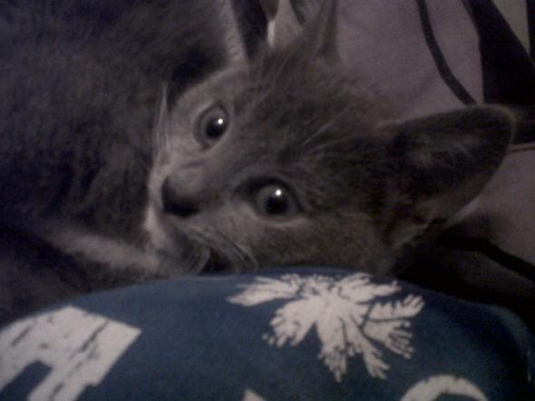 Lola  kitten