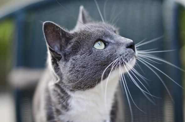 Smokey  kitten