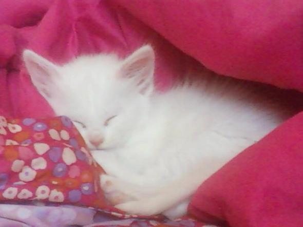 Pixie  kitten