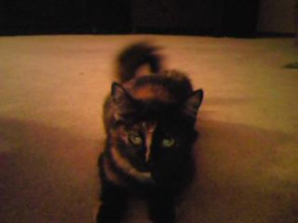 pumkin  kitten