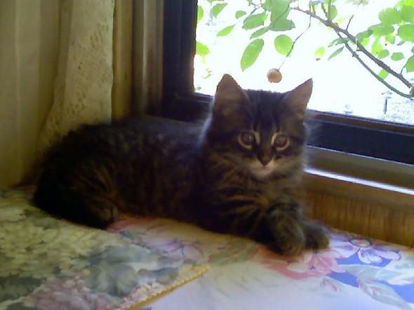 Racoon  kitten