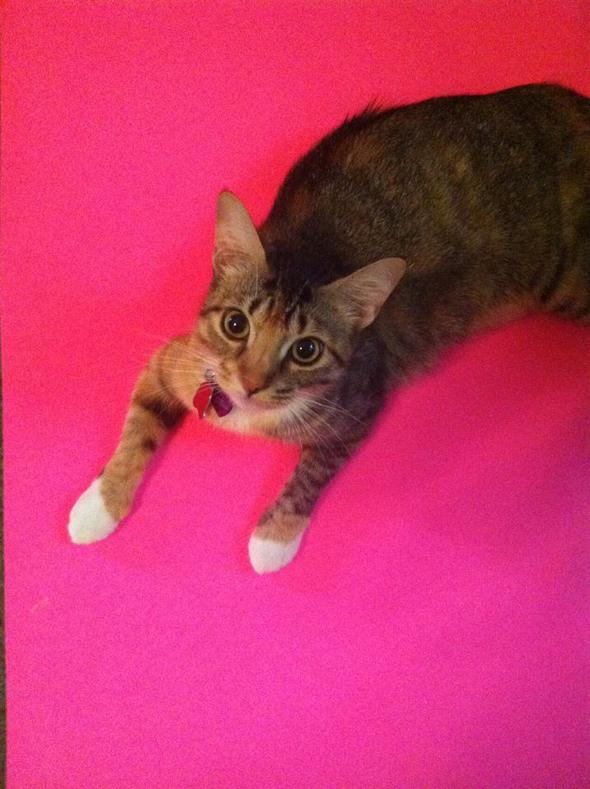 Abby  kitten