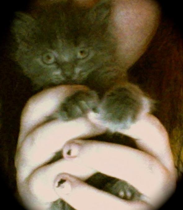 Phoenix  kitten
