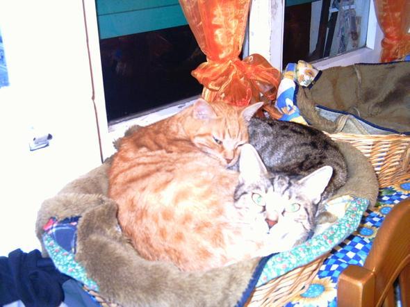 Daisy ,Carotino at Christmas  kitten