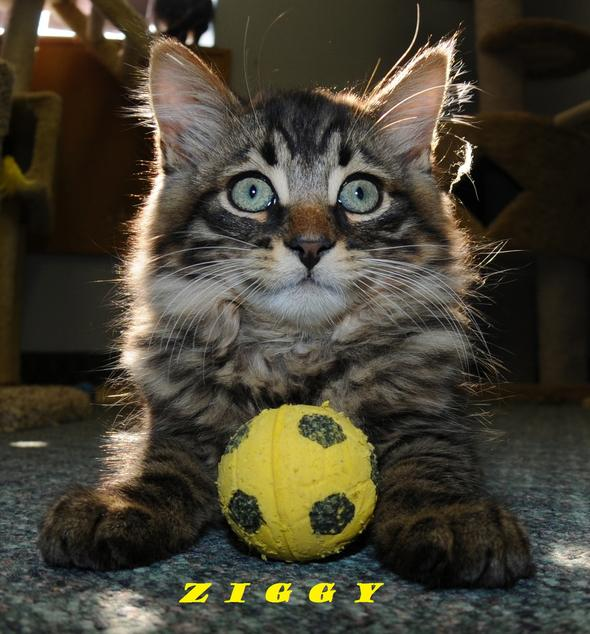 Ziggy  kitten