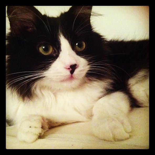 Clove  kitten
