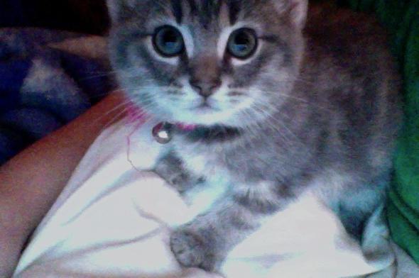 pebbels  kitten