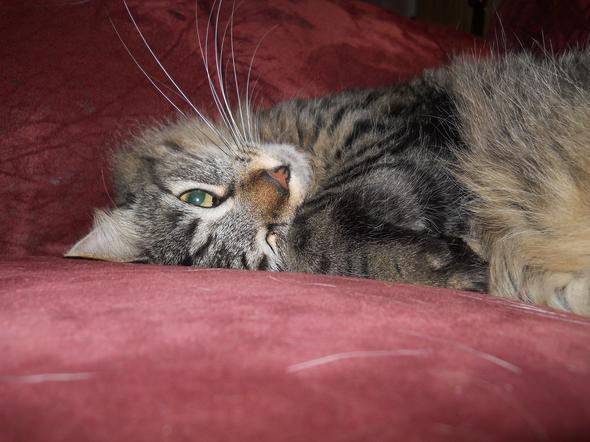 Tyegris 1  kitten