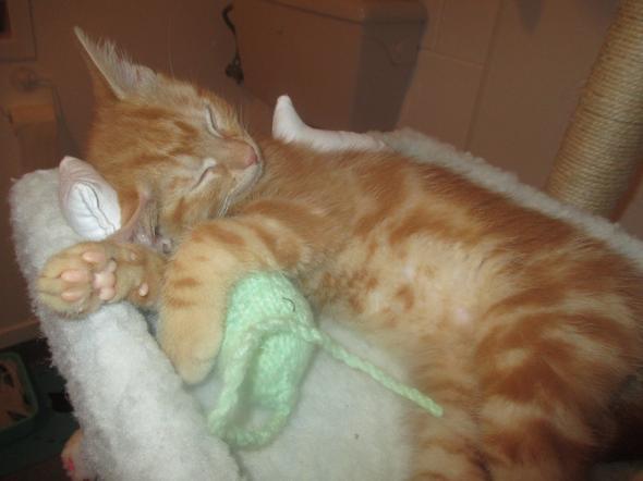 Ginge 9 weeks from spca our kitten.  kitten