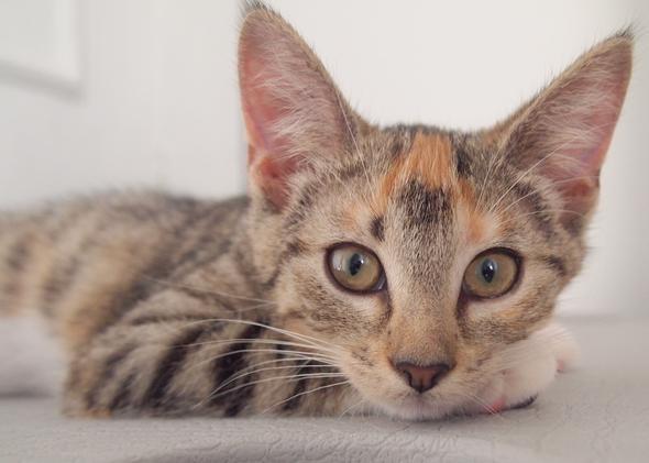 hermione  kitten