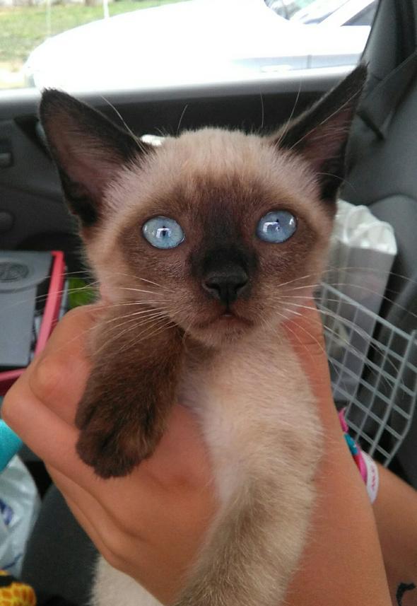 Séléné  kitten