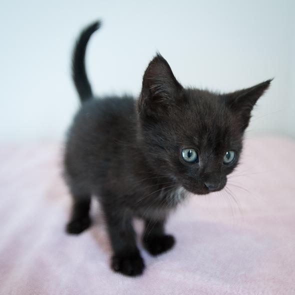 Newport [2] kitten