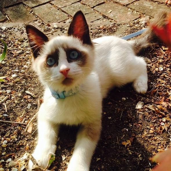 Pippin [3]  kitten