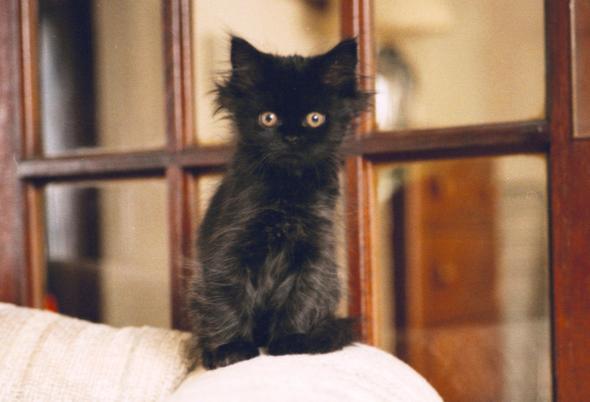 Samantha [2] kitten