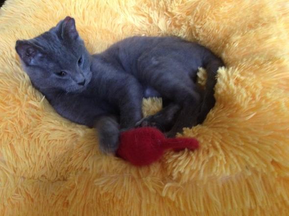 Douglas [3] kitten