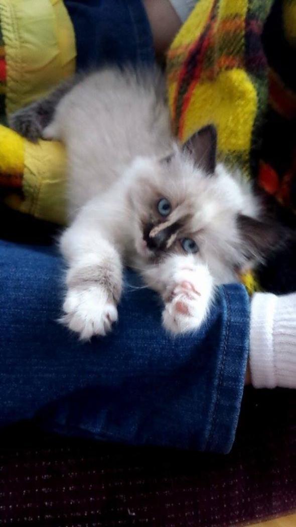 Bridget [2] kitten