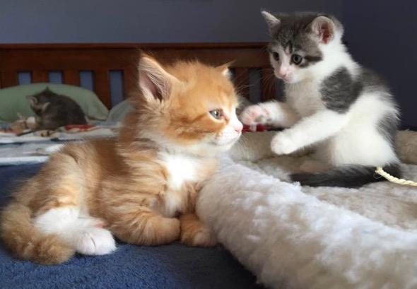 Opal's Babies [3] kitten