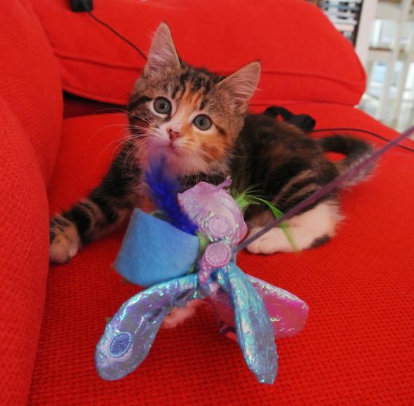 Tabitha [2]  kitten