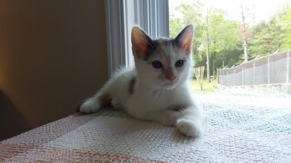 Lacey kitten